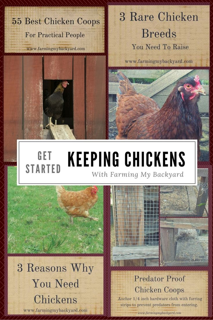 Tips on raising chickens for beginners!  Learn how to get started keeping chickens.