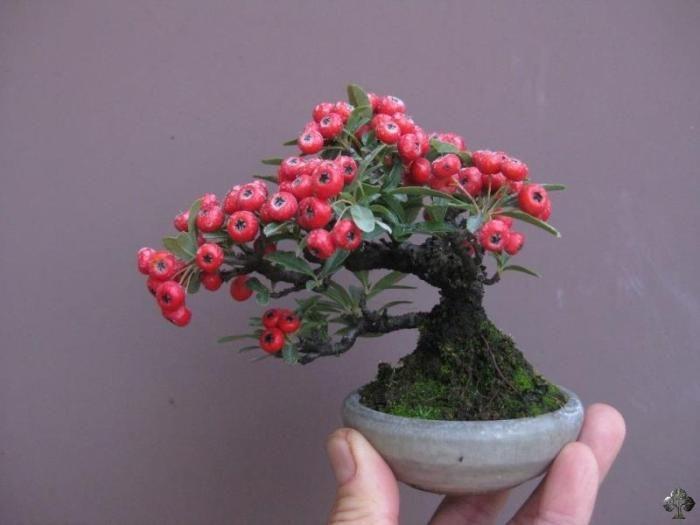 Mini bonsai                                                                                                                                                                                 Mais