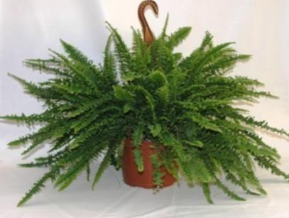 Nephrolepis exaltata: Φυτό εσωτερικού χώρου που έχει βρεθεί ότι αφαιρεί επικίνδυνα σωματίδια από την ατμόσφαιρα.