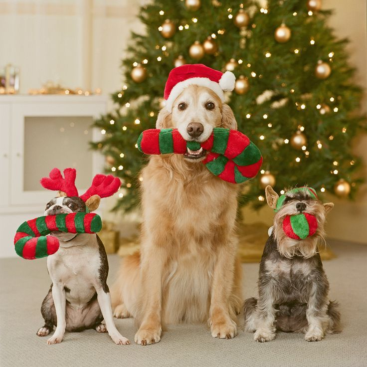 How To Make Your Home A Festive Haven For Pets Christmas Pet Photos Dog Christmas Card Dog Christmas Photos