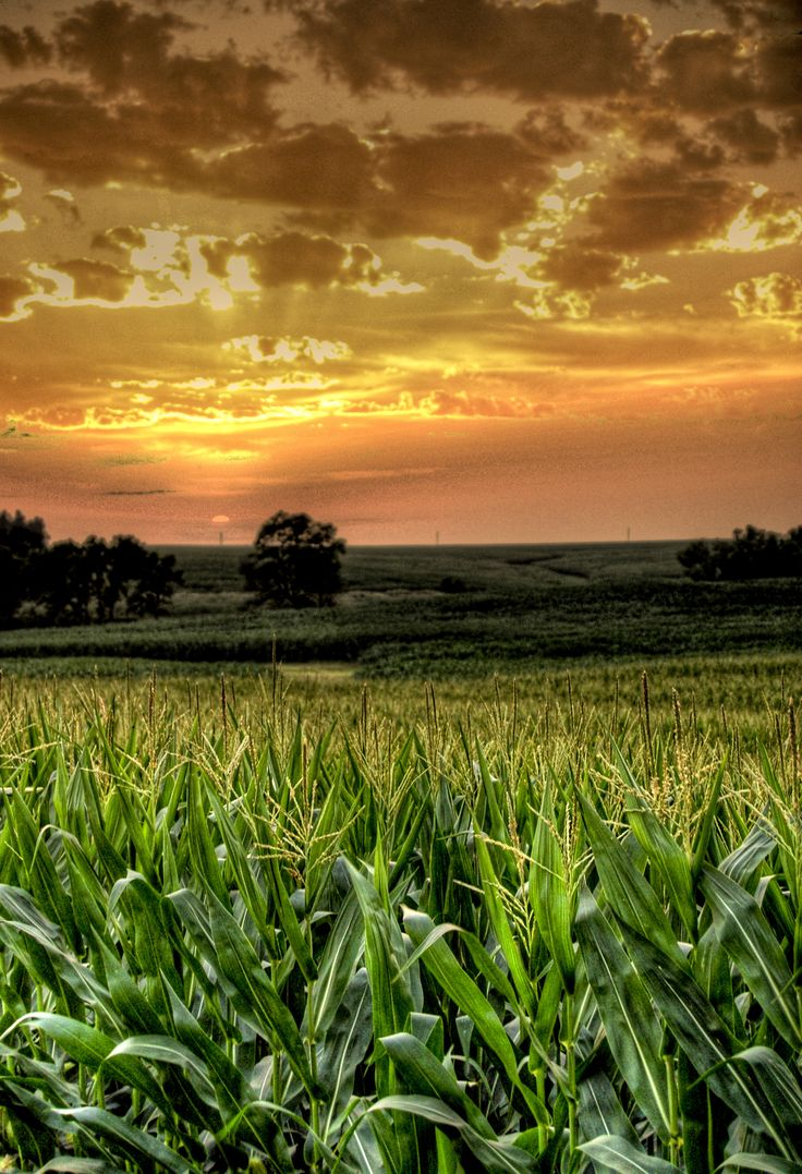 To be lost in a sea of corn filed (until you were ready to be found) was always an adventure. #giftkone