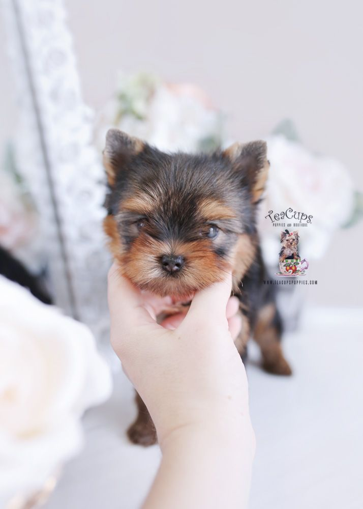 Adorable Yorkie Puppy By Www Teacupspuppies Com Yorkie