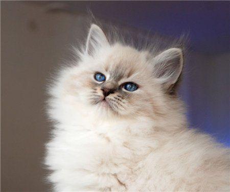 Romantic Melody's ~ Neva Masquarade ~ Sibirische Katze, Timur, Romantic Melodys.