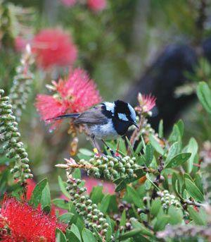 Birdscaping Australian Gardens