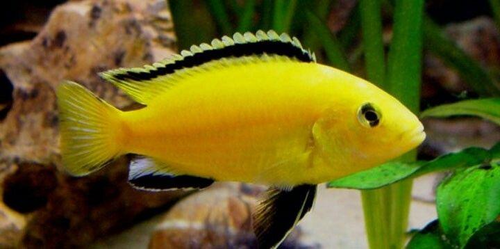 yellow cichlid fish - photo #21