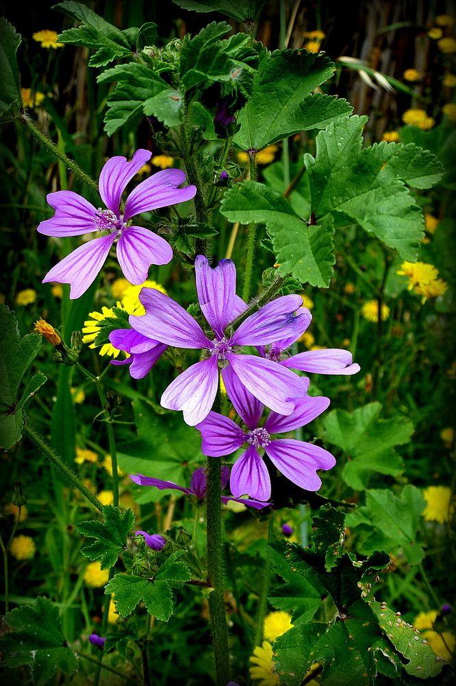 Mejores 161 imágenes de flores silvestres en Pinterest | Flores ...