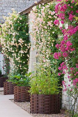 climbing roses and container baskets, Chateau du Rivau, Loire Valley, France