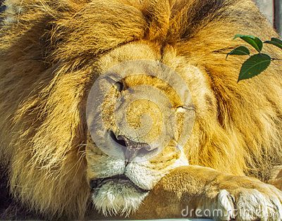 Beautiful african sleepy lion