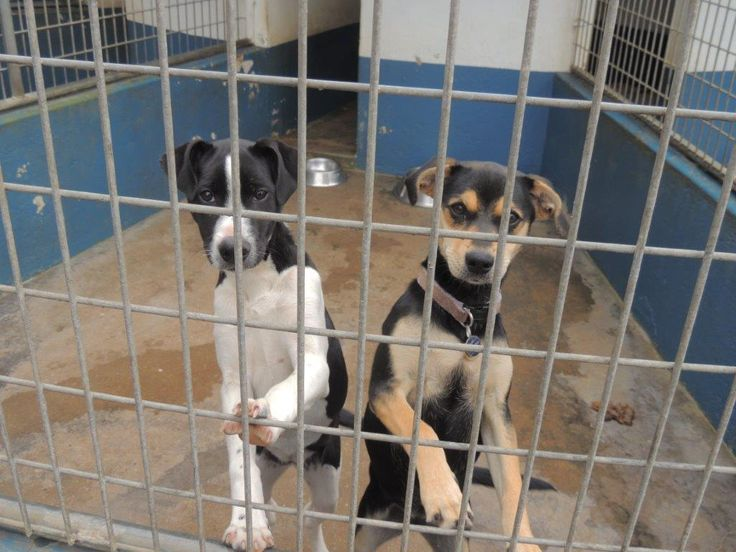 Kennel 60:  Little black and white female cross breed and Little black and tan female, both very playful and friendly.