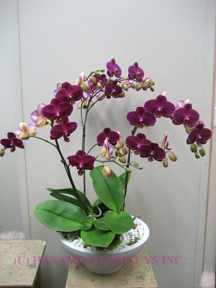 17 best images about orchid and care on pinterest planters growing orchids and vanda orchids - How to care for potted orchids ...