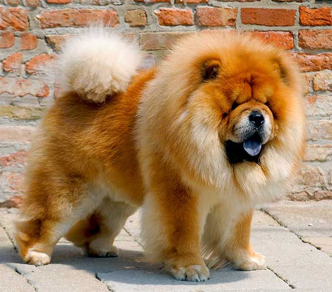 25 Best Ideas About Chow Dog Breed On Pinterest Chow
