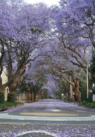 Johannesburg, South Africa, the beautiful Jacaranda Trees