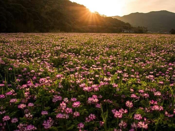 福江島のレンゲ畑