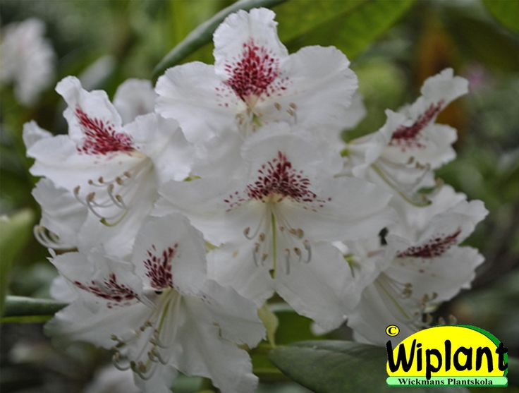 Rhododendron tigerstedtii-gruppen 'P.M.A Tigerstedt', rhododendron. Höjd: 2-3 m. Zon IV.