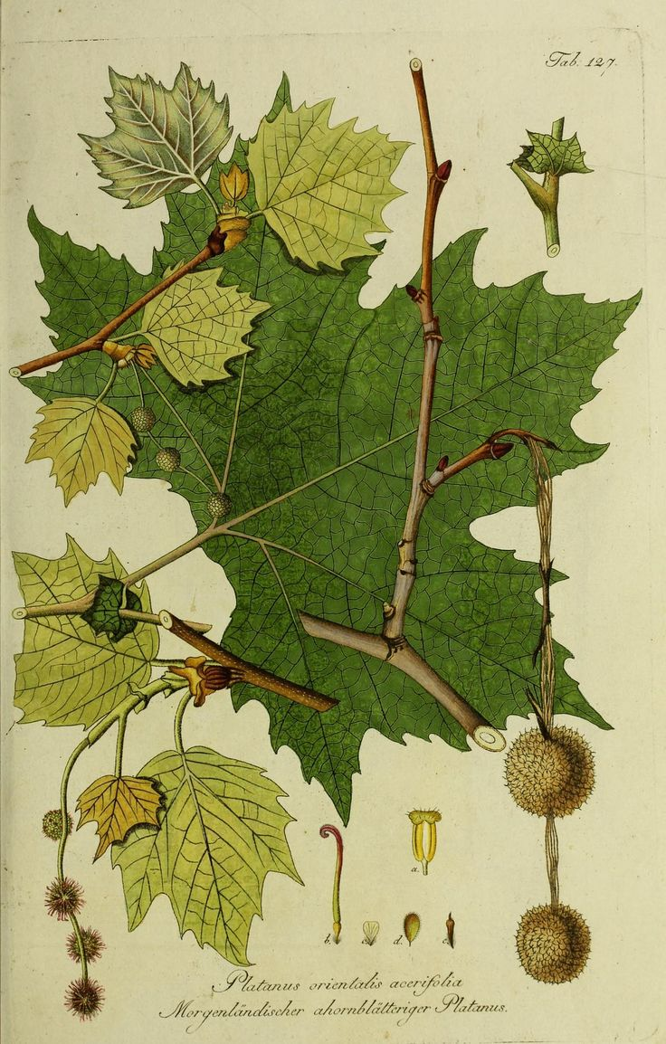 Beautiful Botanical Print of Plantus Orientalus Acerifolia (European Sycamore)