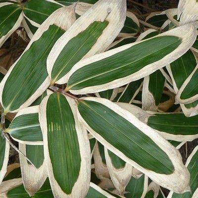 1000 id es propos de feuilles persistantes sur pinterest paysage feuilles persistantes. Black Bedroom Furniture Sets. Home Design Ideas