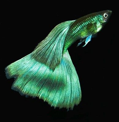 Fancy  Guppies Brilliant  Moscow Blue/Green