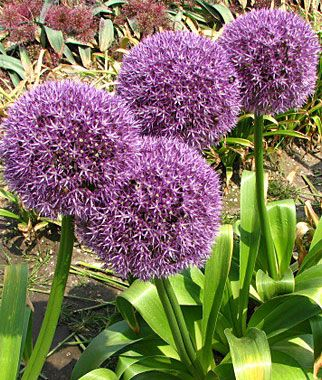 The 375 best plant cultivars summer perenniels images on pinterest allium round and purple lifecycle perennial zone uses beds borders cut flowers sun full sun part sun height feet spread inches mightylinksfo