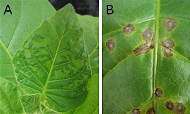 Tobacco Mosaic Virus is a positive sense single stranded RNA virus which infects plants.  This infection causes characteristic mottling and discolouration of the leaves and it wasn't until 1930 that it was discovered as a virus.