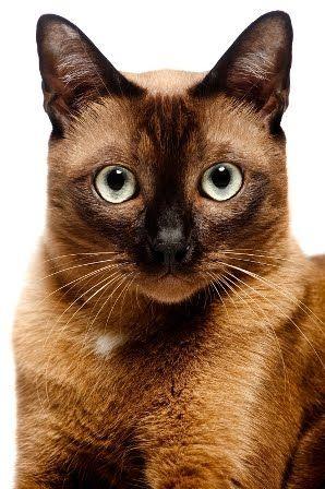 Burmese Cat ~ multiple shades of brown, black & platinum!  I love my Burmese kitty!