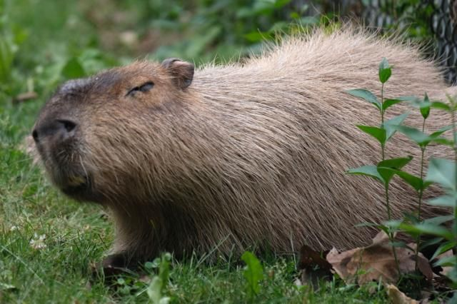 These 150-pound rodents are Olympic golfers' nightmare