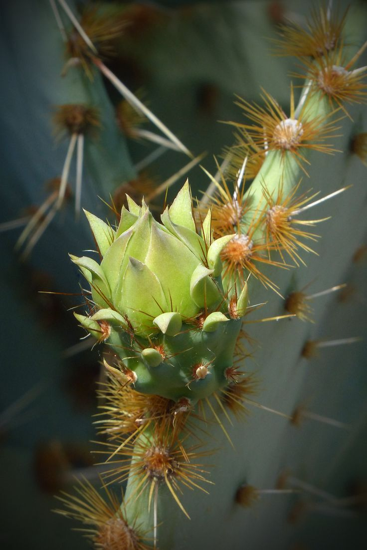Sunlight highlight this prickly pear bud on an Opuntia aciculate located at the entrance of the Center for Desert Living Trail.