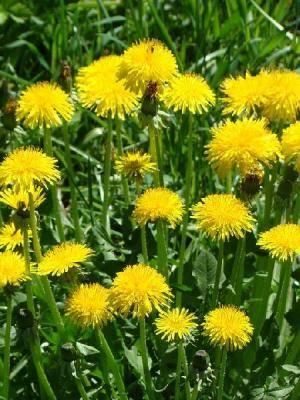 Mniszek lekarski - ogrodowe rośliny lecznicze