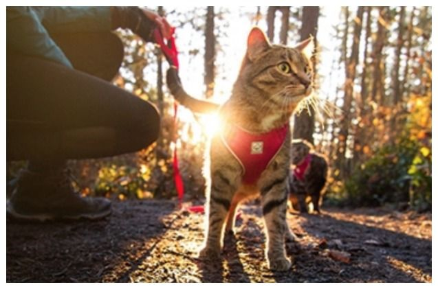 Superzoo 2018 Rc Pets Launches Adventure Harness Just For Kitties