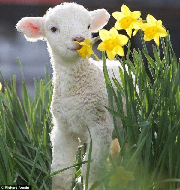 so sweet!: Sweet, Baby Lamb, Animal Baby, Pet, Baby Animal, Daffodils, Baby Sheep, Spring, Flower