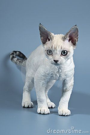 "Devon Rex..  #CATS ✮✮Feel free to share on Pinterest"" ♥ღ www.FASHIONUPDATES.NET"