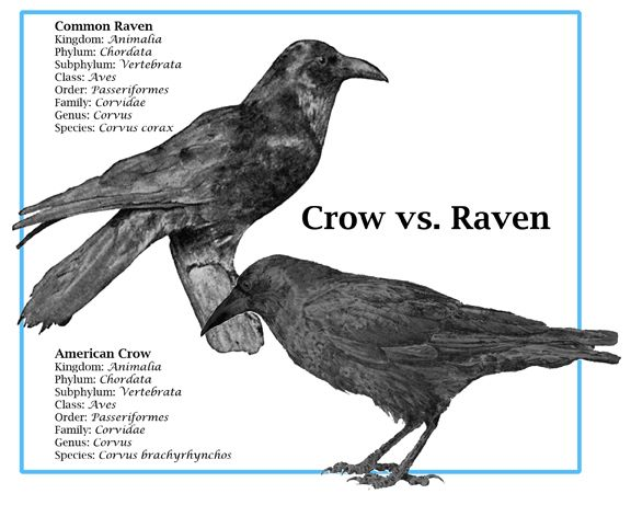 "Only occasionally will a raven make a call similar to a crow's ""caw"" but even then it is so deep as to be fairly easily distinguished from a real crow. Description from 365daysoflearning.weebly.com. I searched for this on bing.com/images"