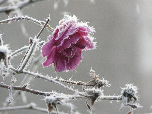 a rose froze