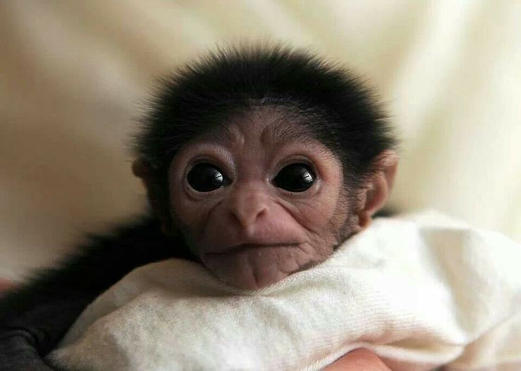 Baby White Handed Gibbon | Human. | Pinterest