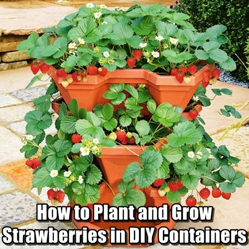 How to Plant and Grow Strawberries in Containers. See how to grow strawberries inside your home in containers to get the best crop of your life.