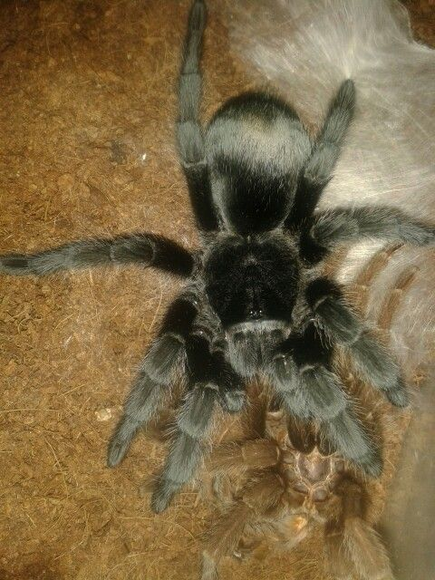 Precious. Our Brazilian black from the Grammastola family. One of the best beginner tarantulas.