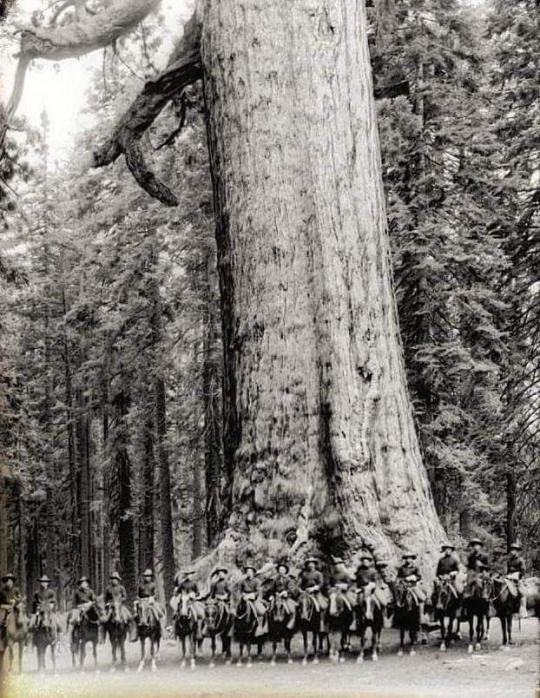 "Sixteen mounted soldiers of F Troop standing in front of ""Grizzley Giant"", a Big Tree in Mariposa Grove in Yosemite National Park, California, ca.1900"