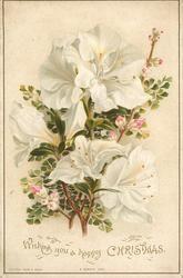 три белых лилии открытые, маленькие розовые цветочные почки
