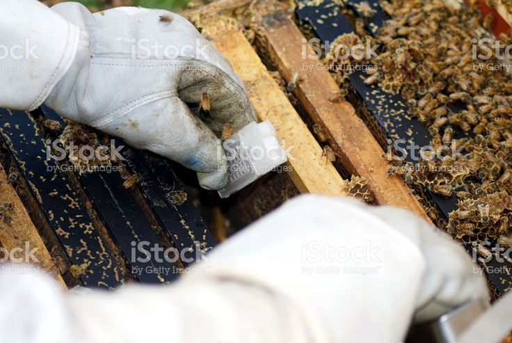 Queen Bee Cage Being Put in Beehive royalty-free stock photo