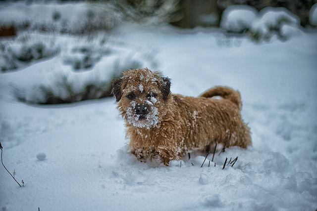 Border Terrier Snow