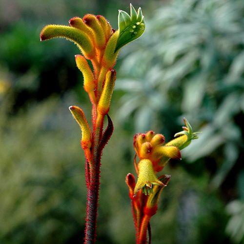 "Anigozanthos ""Bush Tenacity"" #Australia #australiannatives #kangaroopaws #plants"