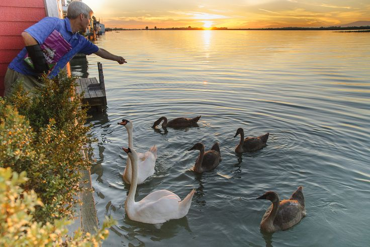 Kelly McCloskey feeds swans right off the back of his Ladner Reach Marina house boat. Photo: Sandy McKellar, Tree Frog Creative