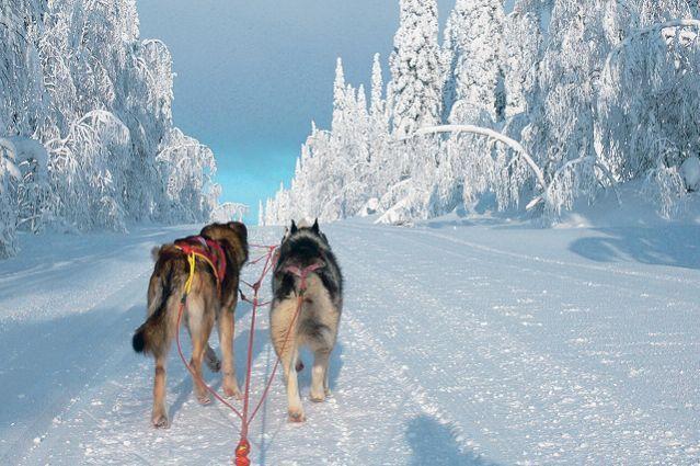 Traîneau à chiens en Finlande : partez 7 jours avec Terres d'Aventure ! Vous apprécierez : Le cadre exceptionnel dans la réserve de Paljakka - L'auberge 'Rendez-vous Nature', familiale et chaleureuse - L'initiation à la conduite d'attelage accessible à tous