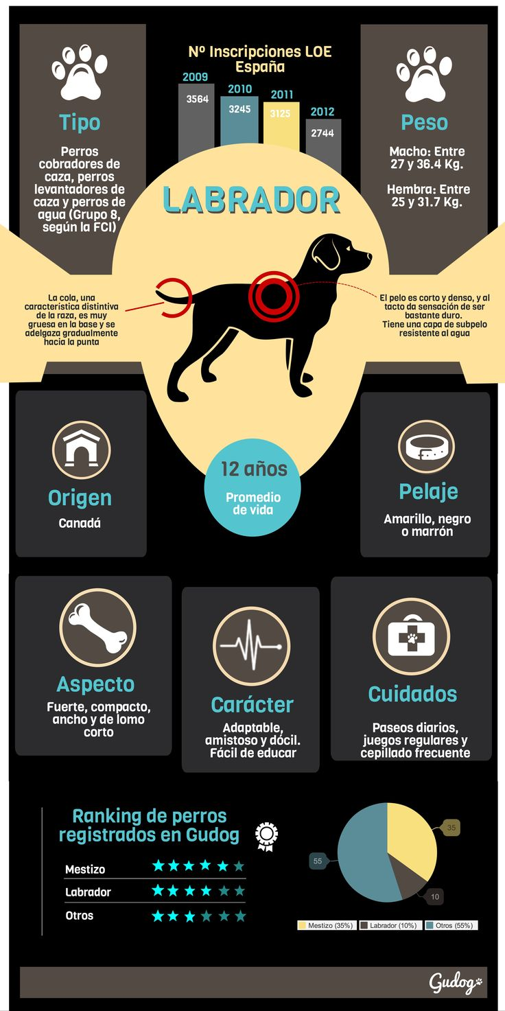 Dedicamos nuestra primera Infografía al Labrador Retriever, la raza más popular entre los usuarios de Gudog después de los perros mestizos.