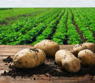 Hľuzy zemiakov priniesli v 16. storočí španielsky kolonizátori z Južnej Ameriky. Táto nová, ľahko dopestovateľná surovina sa rýchlo rozšírila po celej Európe. Dnes sú zemiaky obľúbenou zeleninou...
