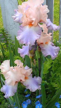 Tall Bearded Iris 'Celebration Song'