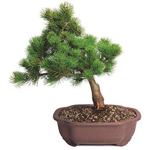 Japanese Bonsai Large Five Needle Pine Tree Plant Garden 5 Years Best Gift NEW #JapaneseBonsai
