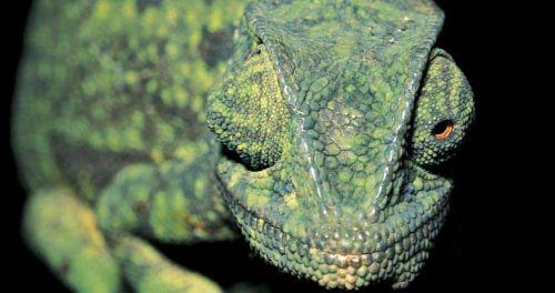 Chameleon Facts For Kids   Chameleon Habitat & Diet