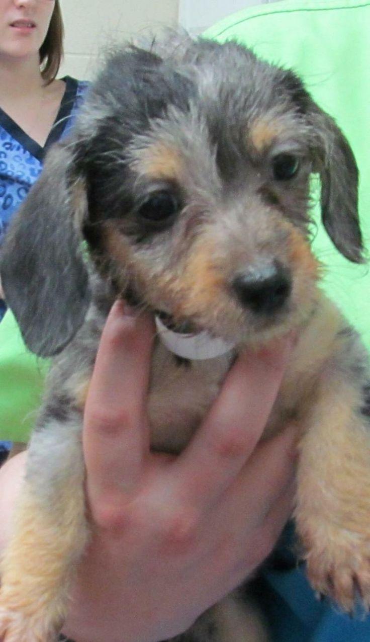 I found 75 A Eloise/ADOPTED on Adoptable dachshund dog