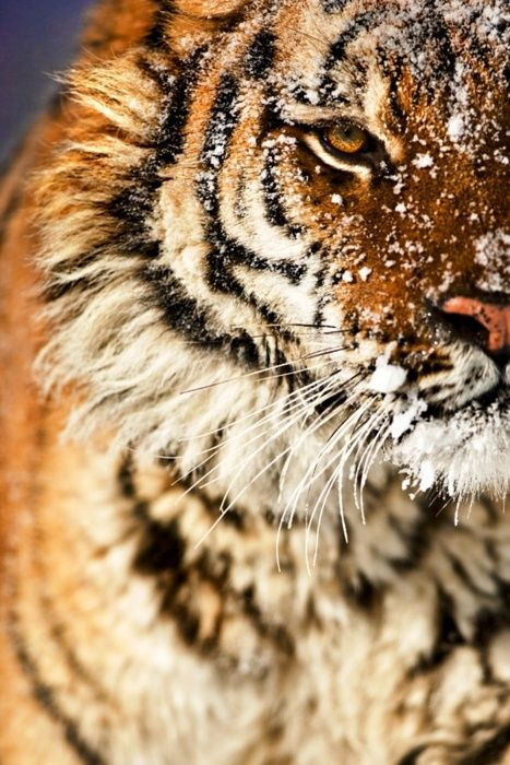 34 best images about lions and tiger! OH MY! on Pinterest ...