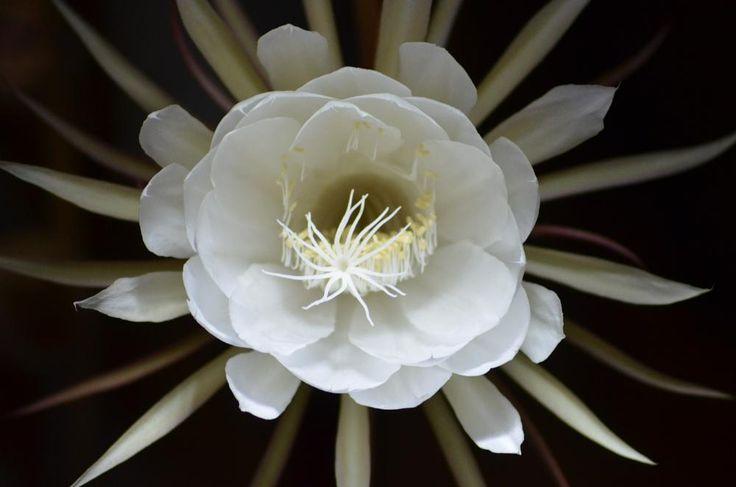 Epiphyllum anguliger, by FerryTjan
